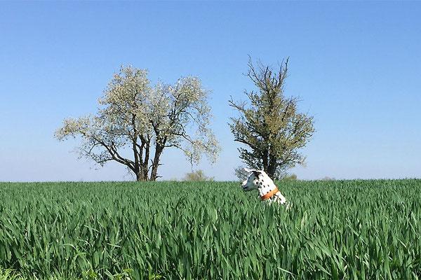 Hoppelhase im Feld