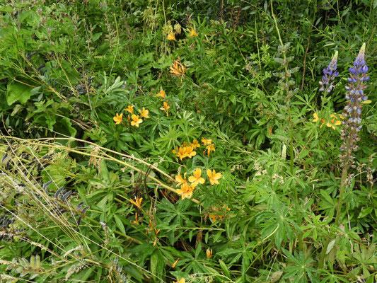 Lupino (Lupinus polyphyllus)
