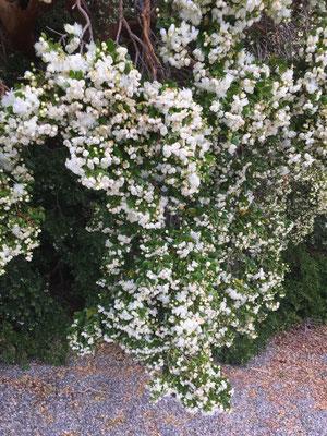 Arrayán (Luma apiculata)