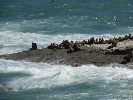elefanti marini-lobos de mar