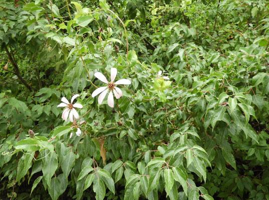 Reina Mora (Mutisia spinosa)