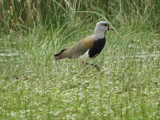 Tero común ( Vanellus chilensis)
