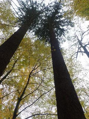 zwei Douglasien ca 150 Jahre alt und 50m hoch