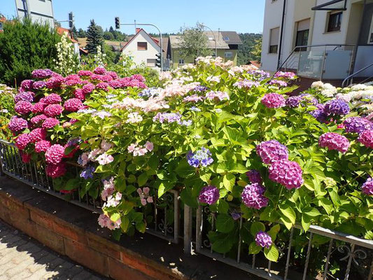 schöne Hortensien in Wilhelmsfeld