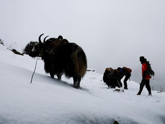 Ein Yak im Schnee