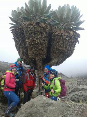 Selbst wenn es mal neblig ist, ist die Landschaft super! Am Kilimanjaro begleiten uns Senecien.