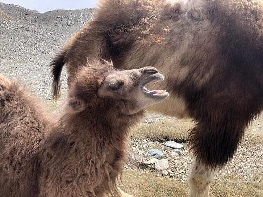 Kamel-Baby