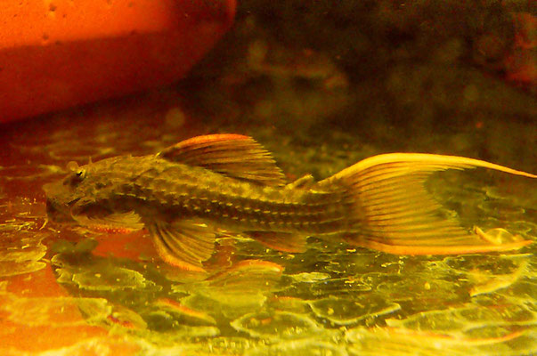 L024, Pseudacanthicus sp.,  wild caught,  15 cm