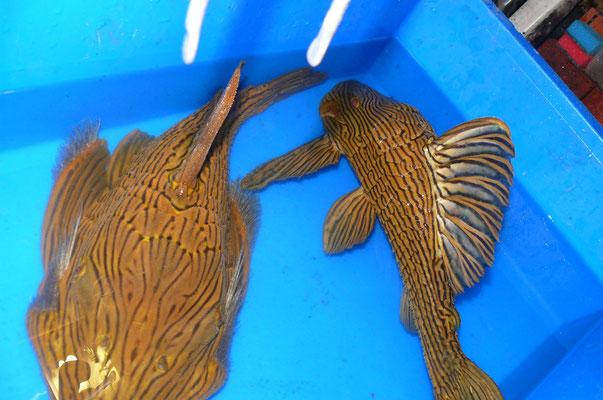 L027, Panaque armbrusteri,  44 + 50 cm, Platinum royal Xingu, Showfische !!!