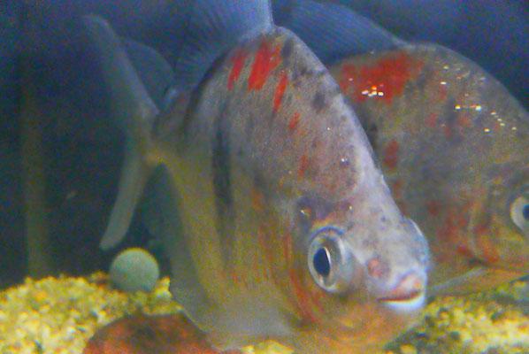 Myleus sp. schomburgkii, Variante 3,  big bold, wild caught, AQUATILIS