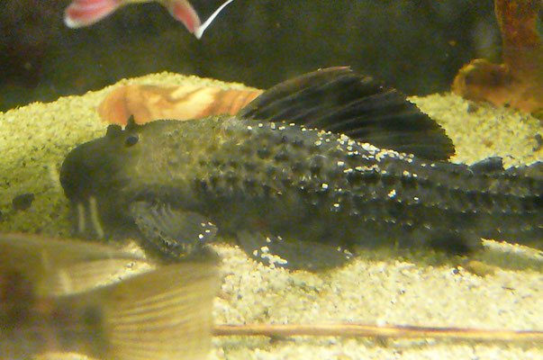 L065,  30 cm, male
