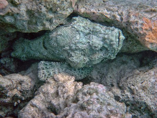 Der Buckel-Drachenkopf (Scorpaenopsis diabolus), auch Falscher Steinfisch genannt, gehört zur Familie der Skorpionsfische (Scorpaenidae).