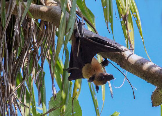 Tagsüber findet man die Tiere, die kopfüber in ihren Schlafbäumen hängen. Sie beginnen am späten Nachmittag damit ihre Ruhequartiere zu verlassen. Die Hauptnahrung der Maledivischen Flughunde sind Früchte wie Mangos oder Papaya