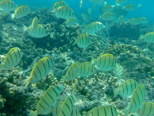 Der Sträflings-Doktorfisch, auch Gitter Doktorfisch genannt, verdankt seinen Namen seinen markanten vertikalen Streifen.