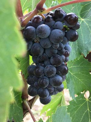 Trauben vom Weingut Gagliole Castellina in Chianti