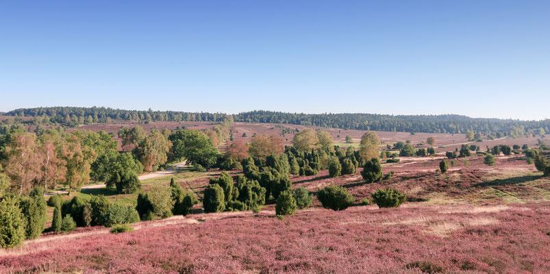 Lüneburger Heide - Vom Turmberg Oberhaverbeck aus zeigt sich die Heide in ihrer ganzen Pracht. Ein Rundblick wie gemalt...
