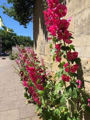 Blütenpracht direkt am Michel