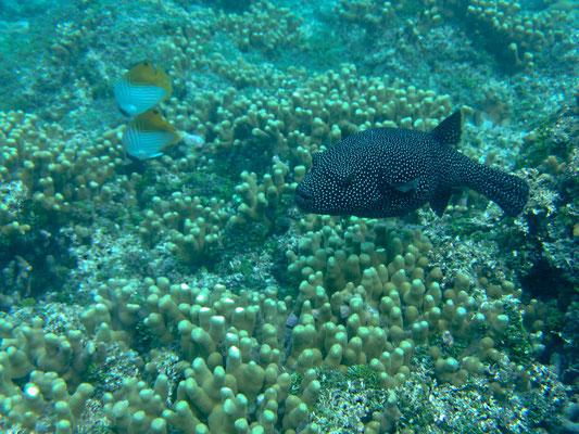 Der Perlhuhn-Kugelfisch lebt in flachen, korallenreichen Zonen bis 25 m Tiefe. Er wird bis zu 50 cm lang.