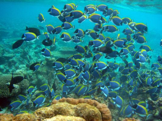 """Weißkehl-Doktorfische - Der Name """"Doktorfisch"""" ist auf die messerscharfen Stacheln der Schwanzwurzel zurückzuführen, die auch als Skalpell bezeichnet werden."""