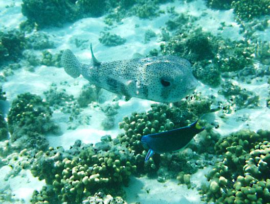 Gepunkteter Igelfisch - Igelfische sind - wie ihre nächsten Verwandten, die Kugelfische - langsame Schwimmer und manövrieren ihren plumpen Körper ebenso geschickt durch das Gewirr der Korallenäste eines Riffes.