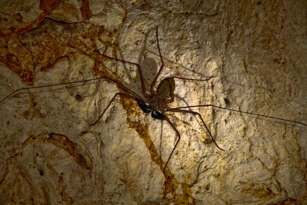 Riesige Höhlenbewohner - bis zu ca. 40  cm große (Beinspannweite) Geißelspinnen