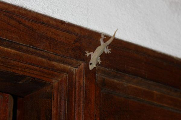 Täglicher Zimmer Besuch - Asiatischer Hausgecko - Diese flinken Insektenfänger vertilgen mit Vorliebe Moskitos, was sie zu angenehmen Mitbewohnern macht