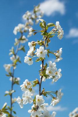 Kirschblüte in Jork