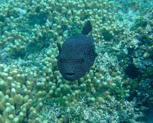 Der Perlhuhn-Kugelfisch lhat eine schwarze Grundfärbung. Der gesamte Körper ist mit vielen weißen Punkten überzogen. Dieser charakteristischen Zeichnung verdankt er auch seinen Namen.