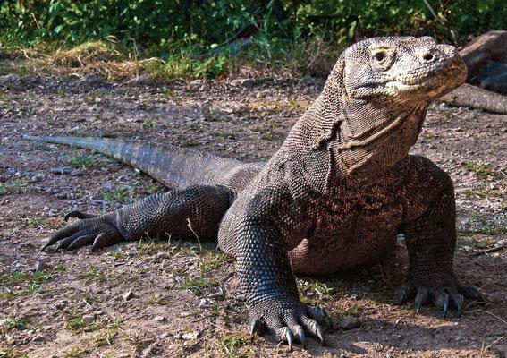 Komodo Waran - Mit Maximallängen von drei Metern bei einem Gewicht von über 70 kg ist er die größt Echse.
