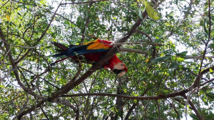 Papagei © Ben Simonsen