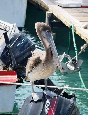 Pelikan © Ben Simonsen
