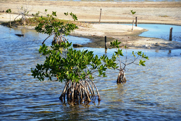 Mangrove in der Lagune