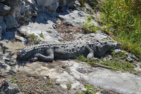 Krokodil im Punta Sur Eco Beach Park