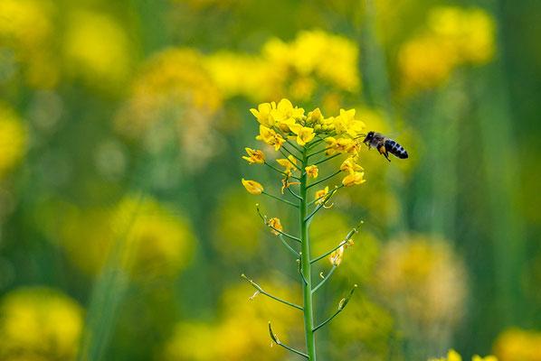 Biene an einer Gelbsenfblüte