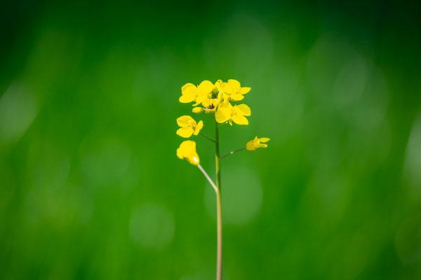 Gelbsenf