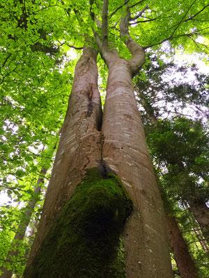 Doppelter Baum