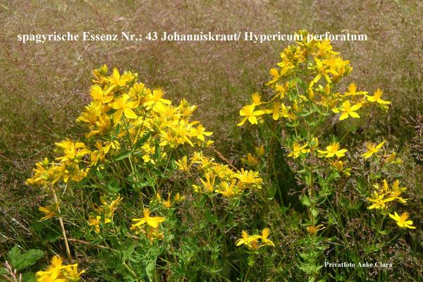 Nr.:  43 Johanniskraut/Hypericum perforatum / Foto: Clara Anke
