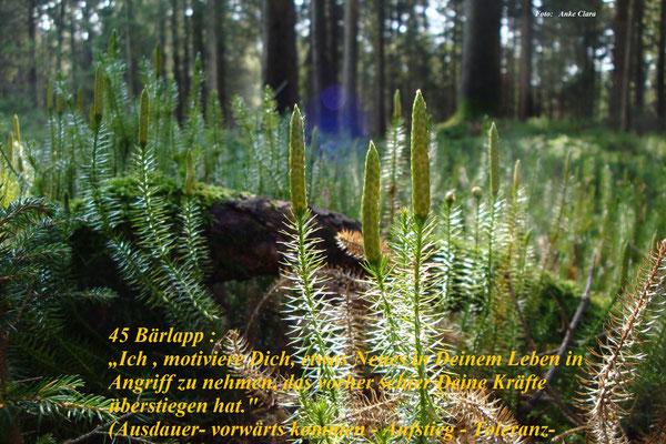 Nr.: 45 Bärlapp / Lycopodium clavatum / Foto : Anke Clara