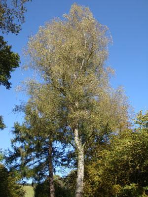 Nr. 16 Weise Birke - Betula alba