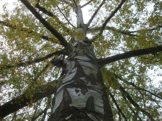 Nr.16 Weise Birke - Betula alba