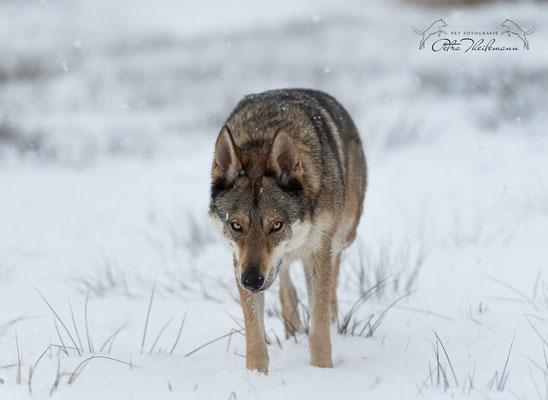 Wolfhundmischling Fenris im Schnee