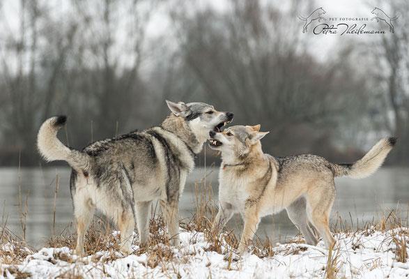 Delphi Spirit of the Wolf in Diskussion mit ihrem Sohn Aracho vom bayerischen Jura 1