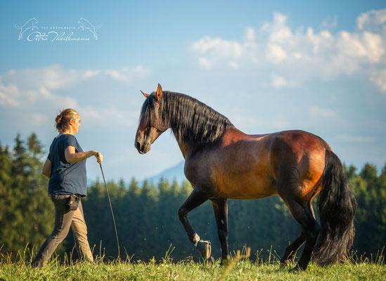 In der klassischen Pferdeausbildung gehört die freie Arbeit und die Zirzensik dazu. Hier zeigt Sandokan die kleine Piaffe frei