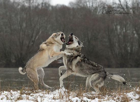 Delphi Spirit of the Wolf in Diskussion mit ihrem Sohn Aracho vom bayerischen Jura 4