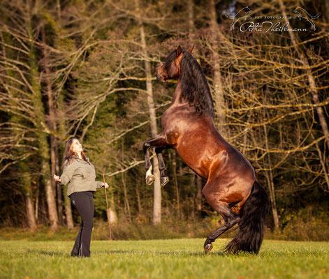 Für viele das Highlight der freien Arbeit mit dem Pferd ist neben dem Ablegen auch das Steigen, weil es spektakulär aussieht. Voraussetzung ist eine gute Grundausbildung und das Thema Respekt sollte geklärt sein.