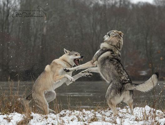 Delphi Spirit of the Wolf in Diskussion mit ihrem Sohn Aracho vom bayerischen Jura 2