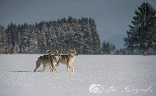 Kismet mit ihrer älteren Schwester Delphi Spirit of the Wolf