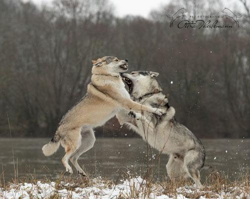 Delphi Spirit of the Wolf in Diskussion mit ihrem Sohn Aracho vom bayerischen Jura 3