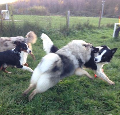 Wolfsspitz Hope-Babette von der Römerroute in Action