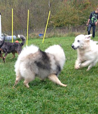 """Wolfsspitz Hope-Babette von der Römerroute """"so macht Hundeschule Spaß"""""""